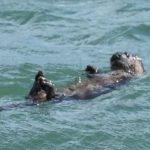 OTTER cork swim - Tom Masons