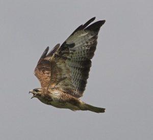 buzzard 1